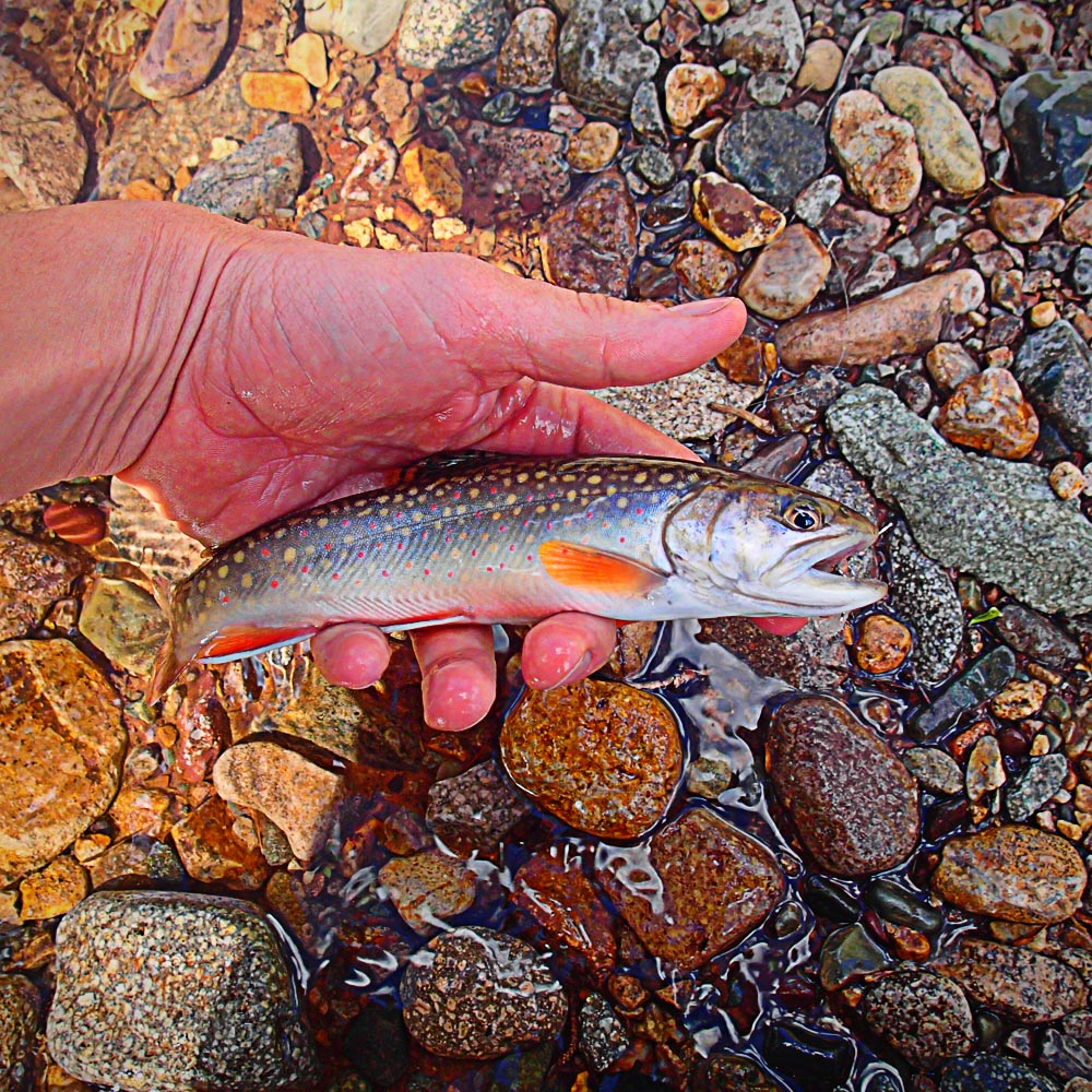Brook Trout - Durango Fly Fishing Sage Circa Fly Rod
