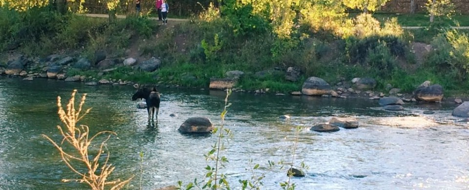 Animas-River-Moose-.jpg