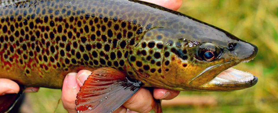 Jake Duranglers Colorado Fly Fishing Brown Trout Duranglers