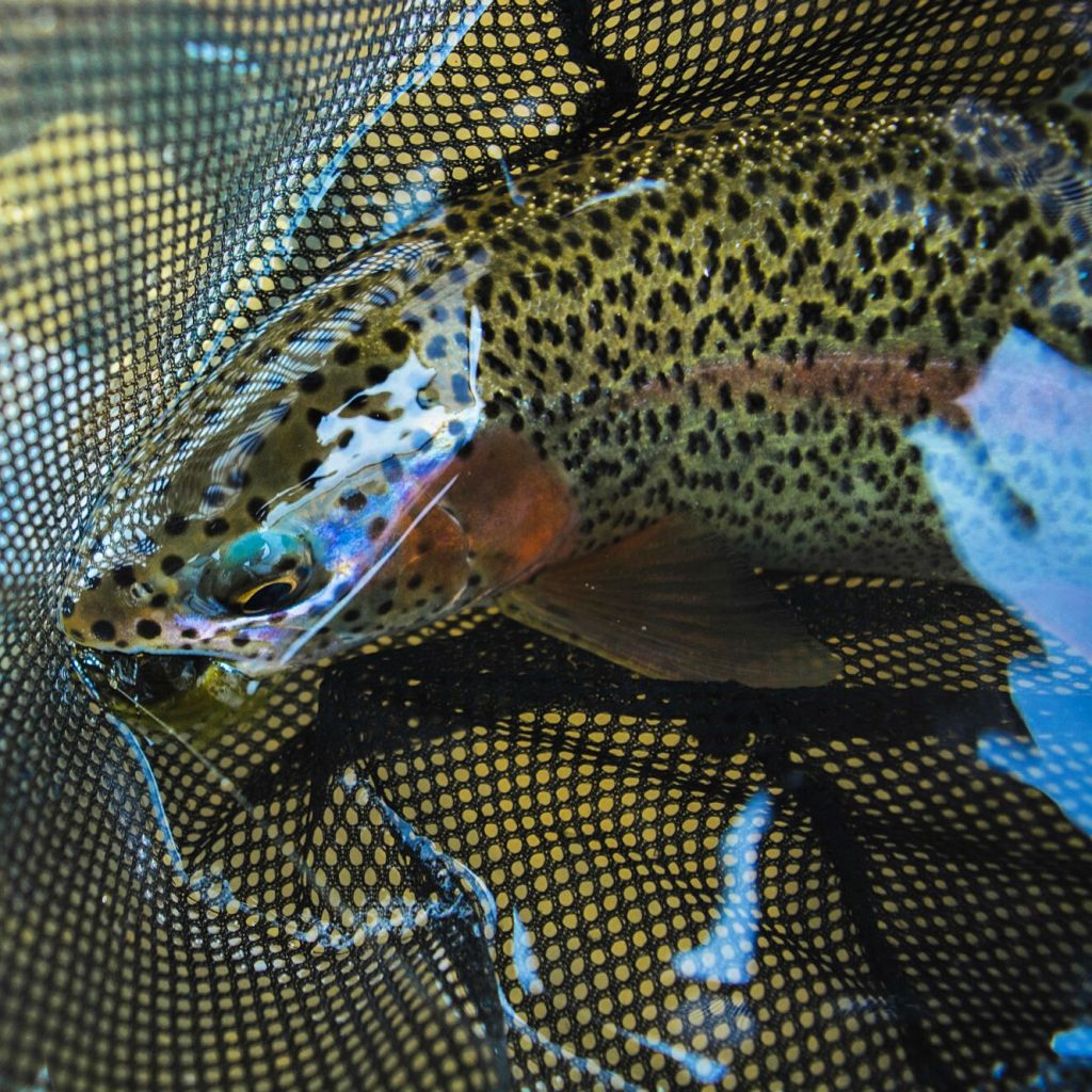 Animas Rainbow Trout in the Net Andy McKinley