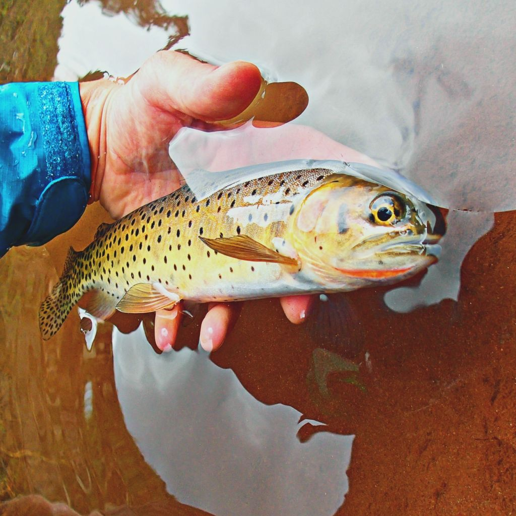 Andy Cutthroat trout