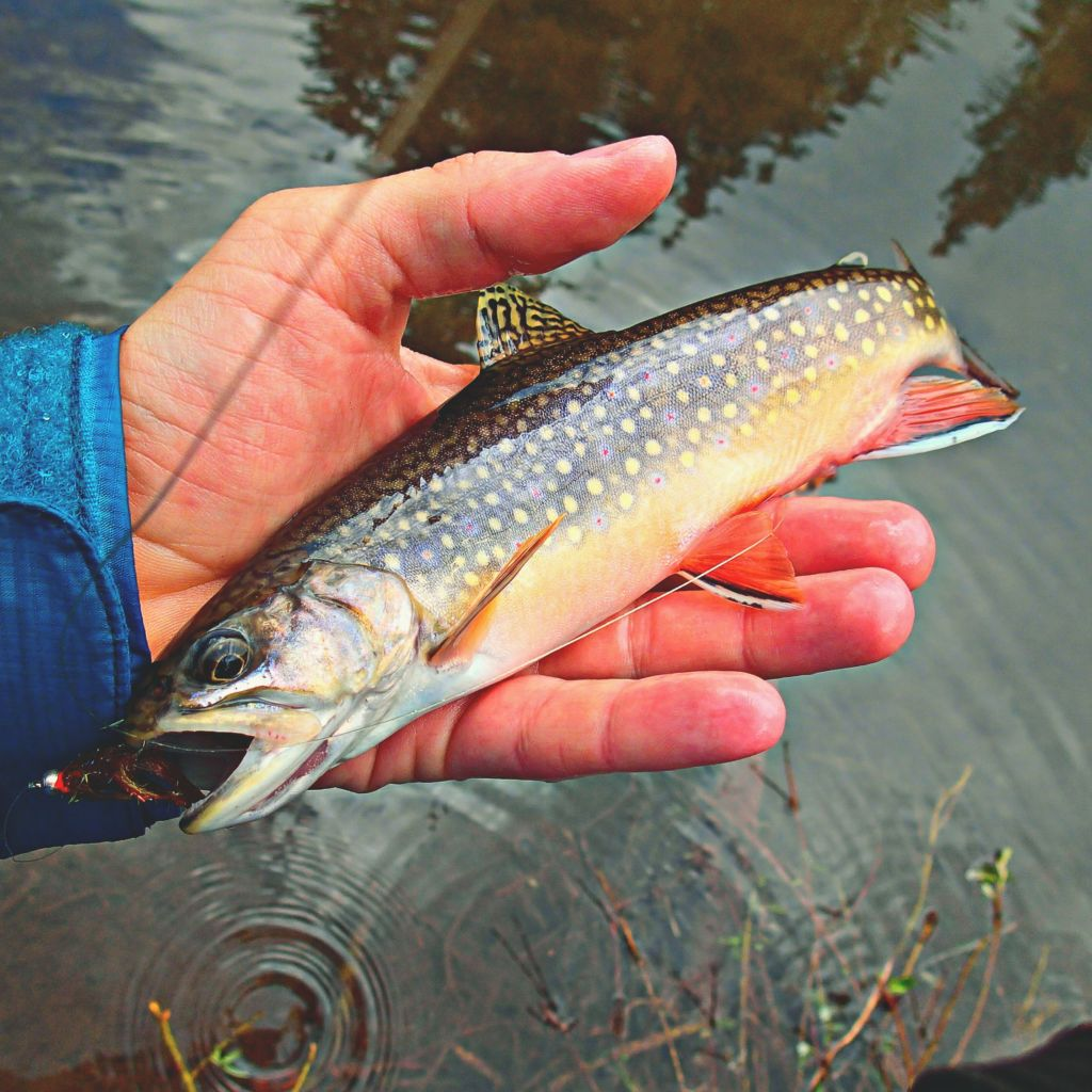 Andy Brook Trout