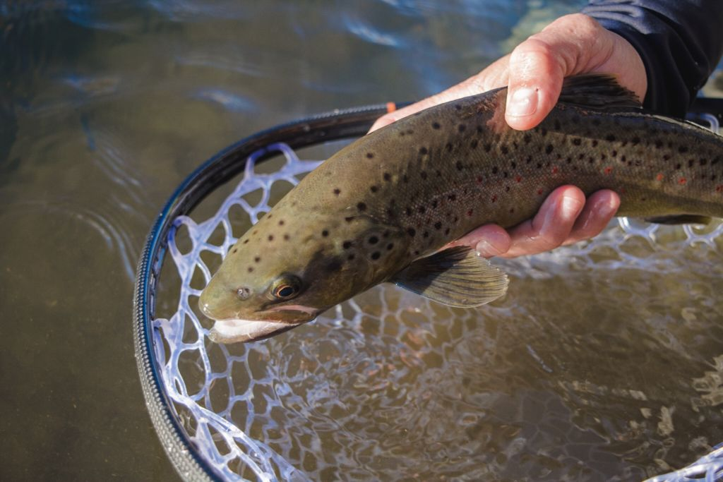 Andy McKinley Brown Trout Release